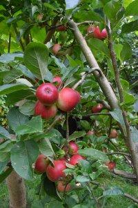 drzewo jabłoni